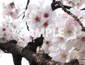 新宿御苑で撮った桜