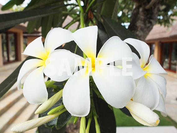 南国といえば、プルメリアの花
