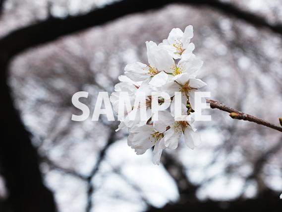 桜の花をアップ