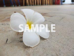 地面に落ちたプルメリアの花