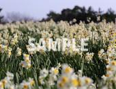 水仙の花畑