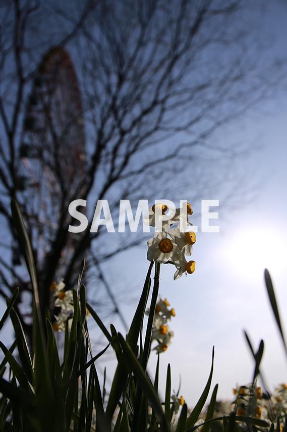 水仙の花を下から見上げる