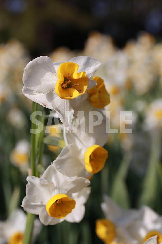 鮮やかに花開く水仙