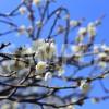 白加賀梅(しろかがうめ)の花