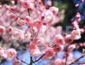 楠玉(くすだま)梅の花