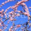 呉服枝垂(ごふくしだれ)梅の花