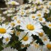 マーガレットの花畑