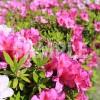 蜜を吸えるつつじの花
