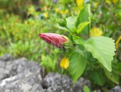 赤いハイビスカスの蕾の写真