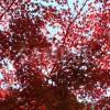 色づいた紅葉を見上げて