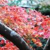 枝から覗く、赤く色づいた紅葉