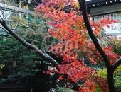 鶴岡八幡宮の徐々に色づく紅葉