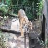 上野動物園の虎(前向き)