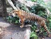 上野動物園の虎(横向き)