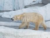 上野動物園の北極熊