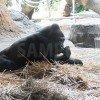 上野動物園のくつろぐゴリラ