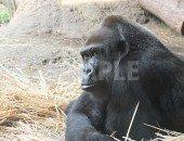 上野動物園のゴリラの顔のアップ