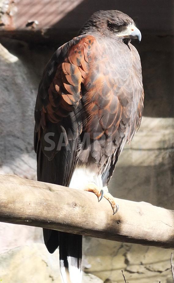 上野動物園の鷹
