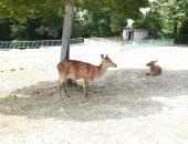 木陰で涼む鹿