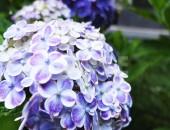 鎌倉長谷寺の紫陽花