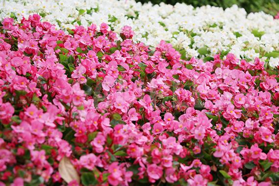 ピンクと白の花畑