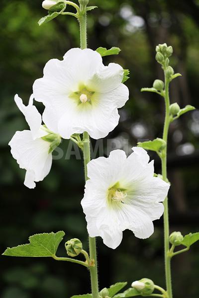 春に咲く白い花の写真・フォト素材