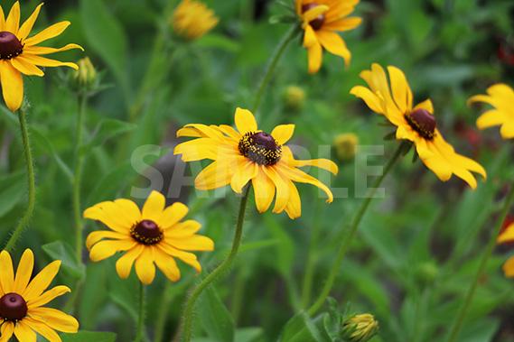 ルドベキアの花の写真・フォト素材