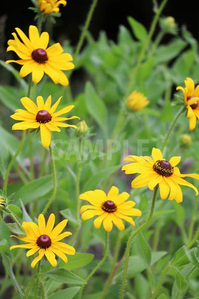 黄色の花、ルドベキアの写真・フォト素材