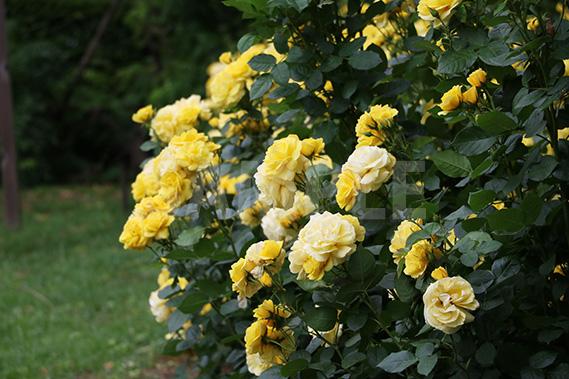 黄色いバラ(伊豆の踊子)