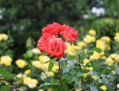 朱色のバラ(ローラ)