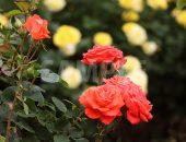 柔らかな赤色のバラ(ローラ)