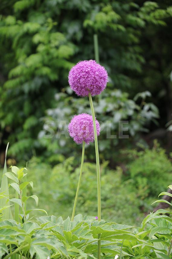 まん丸でかわいい玉ねぎの花