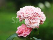ピンクのバラの花のアップ