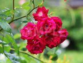色鮮やかな赤紫色のバラの花