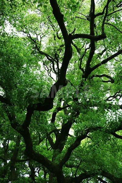 樹木を見上げた写真・フォト素材