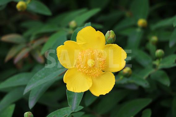 黄色の花、キンシバイ(金糸梅)