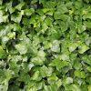 ヘデラ(アイビー)の葉っぱテクスチャー系写真