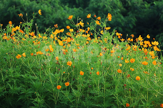 咲き乱れるオレンジ色の花