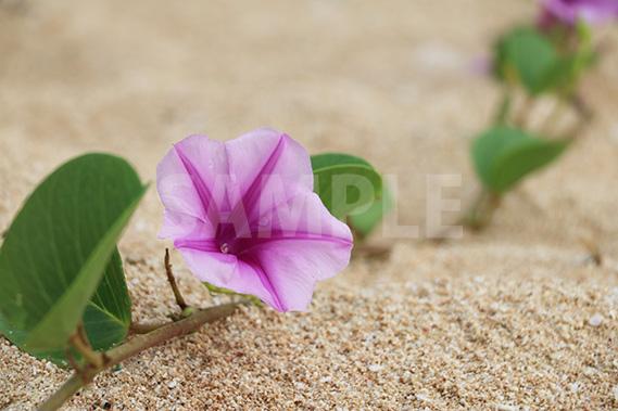 海の砂浜に咲く朝顔に似た花、浜昼顔