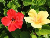 赤と黄色のハイビスカス