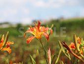 オレンジ色のユリ科の植物、クワンソウ