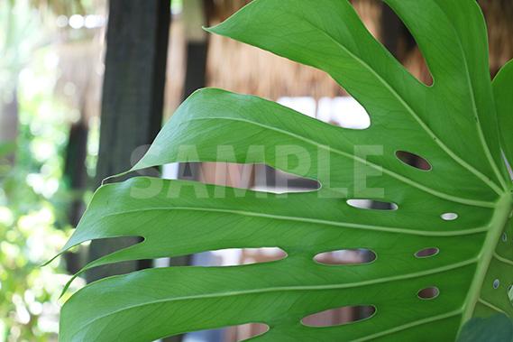 モンステラの葉っぱを裏から見た写真