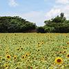 宮古島のヒマワリ畑と青い空