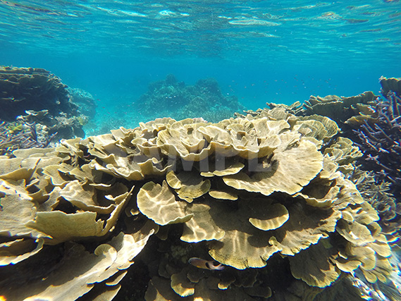宮古島のキャベツ珊瑚