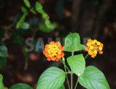 オレンジ色のランタナの花