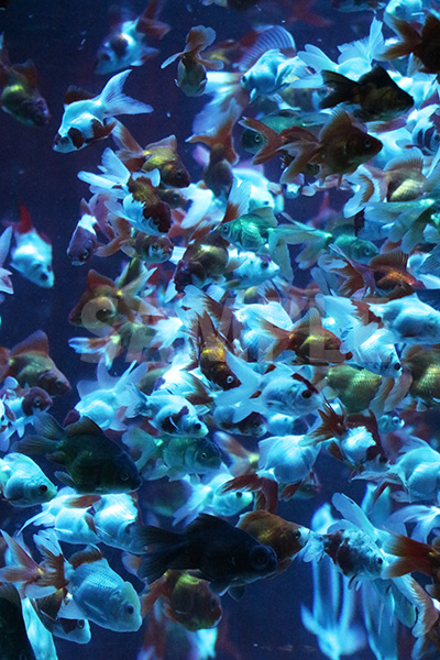 青白い色に照らされた水槽で大量に泳ぐ金魚の写真