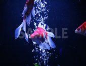 青白い色に照らされた水槽で泳ぐ金魚の写真