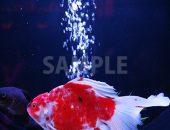 優雅に泳ぐ金魚(ジャンボオランダ)の写真