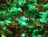 緑色に照らされた水槽で大量に泳ぐ金魚の写真