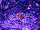 紫色に照らされた水槽で泳ぐカクレクマノミの写真・フォト素材